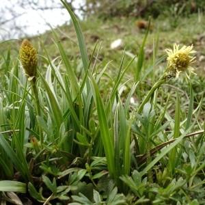 Photographie n°168041 du taxon Carex caryophyllea Latourr. [1785]