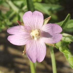 Epilobium parviflorum Schreb. [1771] (Épilobe à petites fleurs)