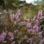Marc Chouillou - Calluna vulgaris (L.) Hull