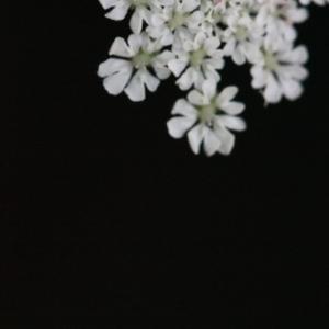 Photographie n°168177 du taxon Torilis japonica (Houtt.) DC. [1830]