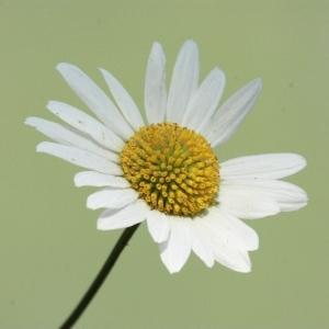 Photographie n°168287 du taxon Leucanthemum vulgare Lam. [1779]