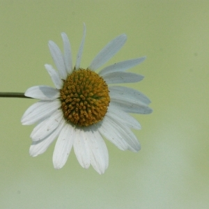 Photographie n°168288 du taxon Leucanthemum vulgare Lam. [1779]