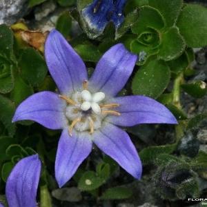 Campanula cenisia L. (Campanule du mont Cenis)