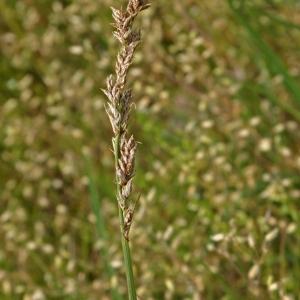 Photographie n°168750 du taxon Carex paniculata L.