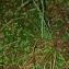 Thierry Pernot - Carex pendula Huds. [1762]