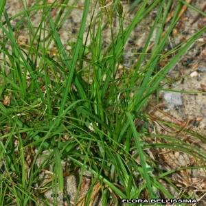 - Carex arenaria L.