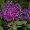 Thierry Pernot - Centaurea uniflora Turra