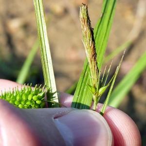 Photographie n°169947 du taxon Carex pseudocyperus L.