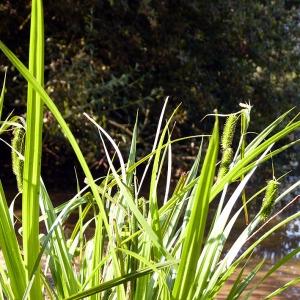 Photographie n°169950 du taxon Carex pseudocyperus L.