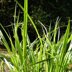 Photographie n°169951 du taxon Carex pseudocyperus L.