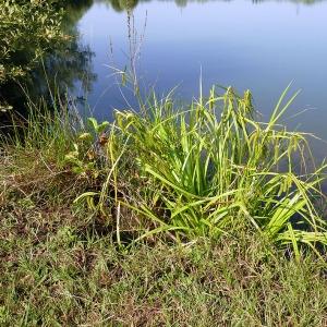 Photographie n°169952 du taxon Carex pseudocyperus L.