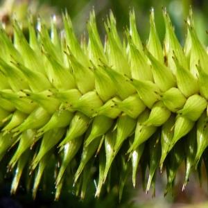 Photographie n°170085 du taxon Carex pseudocyperus L.