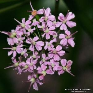Photographie n°170185 du taxon Chaerophyllum villarsii W.D.J.Koch
