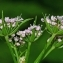 Thierry Pernot - Chaerophyllum villarsii W.D.J.Koch