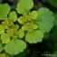 Thierry Pernot - Chrysosplenium alternifolium L.