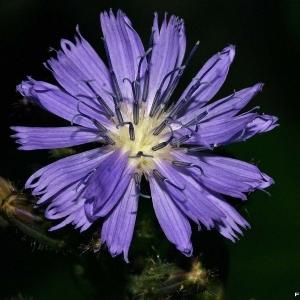 Lactuca alpina (L.) Benth. & Hook.f. [1873] (Laiteron des montagnes)