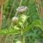 Thierry Pernot - Cirsium oleraceum (L.) Scop.