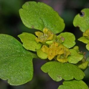 - Chrysosplenium alternifolium L. [1753]