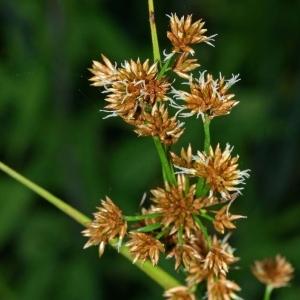 Cladium mariscus (L.) Pohl (Marisque)