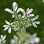 Thierry Pernot - Coriandrum sativum L.