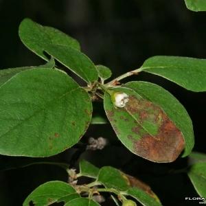 - Cotoneaster integerrimus Medik.