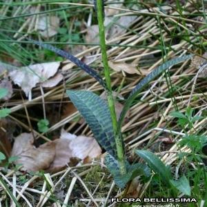 Photographie n°170683 du taxon Dactylorhiza fuchsii (Druce) Soó