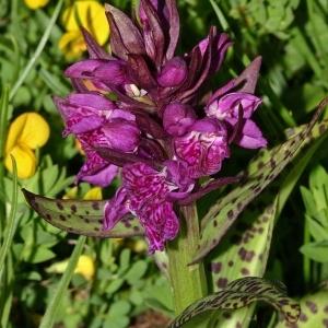 Dactylorhiza majalis (Rchb.) P.F.Hunt & Summerh. (Dactylorhize à larges feuilles)