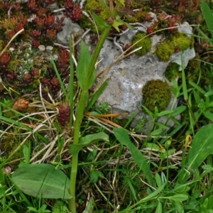 Photographie n°170742 du taxon Dactylorhiza viridis (L.) R.M.Bateman, Pridgeon & M.W.Chase