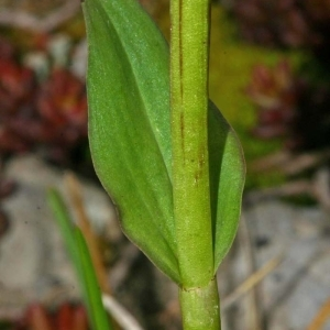 Photographie n°170744 du taxon Dactylorhiza viridis (L.) R.M.Bateman, Pridgeon & M.W.Chase