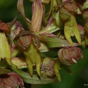 Photographie n°170746 du taxon Dactylorhiza viridis (L.) R.M.Bateman, Pridgeon & M.W.Chase