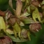 Thierry Pernot - Dactylorhiza viridis (L.) R.M.Bateman, Pridgeon & M.W.Chase