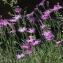 Thierry Pernot - Dianthus hyssopifolius L.