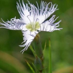 Dianthus blandus (Rchb.) Hayek (Mignonnette)