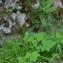 Thierry Pernot - Dianthus superbus L.