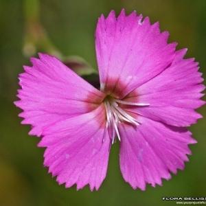 Dianthus saxicola Jord. (Oeillet des rochers)