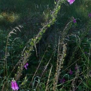 Photographie n°170886 du taxon Digitalis purpurea L.