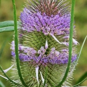 Dipsacus sativus (L.) Honck. (Cardère à foulon)