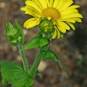 Photographie n°170921 du taxon Doronicum plantagineum L.