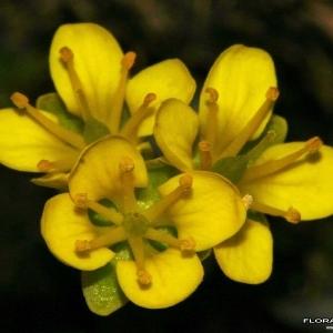 Draba aizoides L. (Drave faux aïzoon)