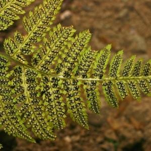 Dryopteris carthusiana (Vill.) H.P.Fuchs (Dryoptéris de Chartreuse)