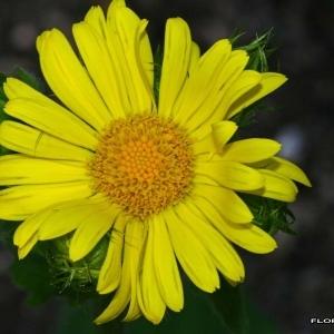 Doronicum gallicum (Rouy) A.W.Hill (Doronic à feuilles de plantain)