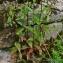 Thierry Pernot - Epilobium montanum L.