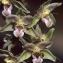 Thierry Pernot - Epipactis purpurata Sm. [1828]