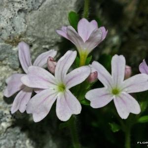 Erinus alpinus L. (Érine des Alpes)