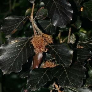 Photographie n°171353 du taxon Fagus sylvatica L.