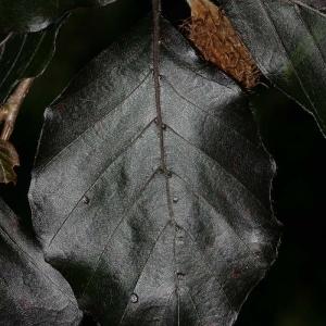 Photographie n°171355 du taxon Fagus sylvatica L.