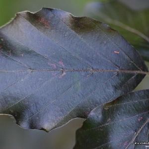 Photographie n°171356 du taxon Fagus sylvatica L.