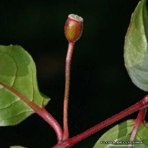 - Fuchsia magellanica Lam.