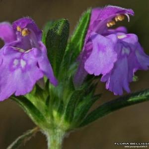 Galeopsis angustifolia Ehrh. ex Hoffm. (Galéopsis à feuilles étroites)