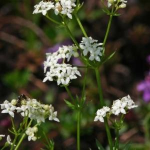 Galium anisophyllon Vill. (Gaillet à feuilles inégales)